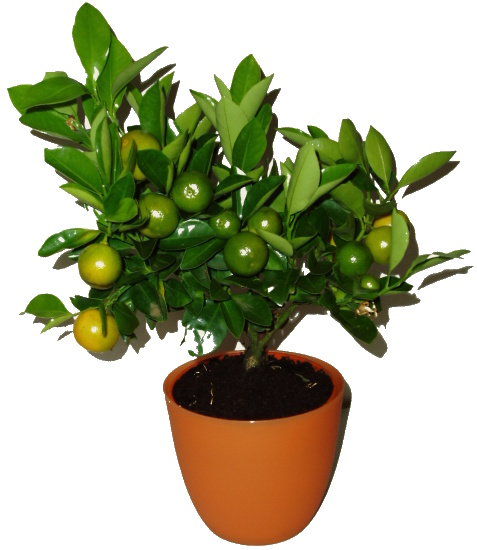 Citrus Orange Calamondin 2. jakost č. 5