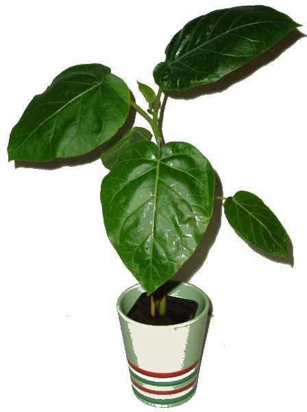 Pokojové rostliny - Rajčenka - Cyphomandra betacea - RARITA