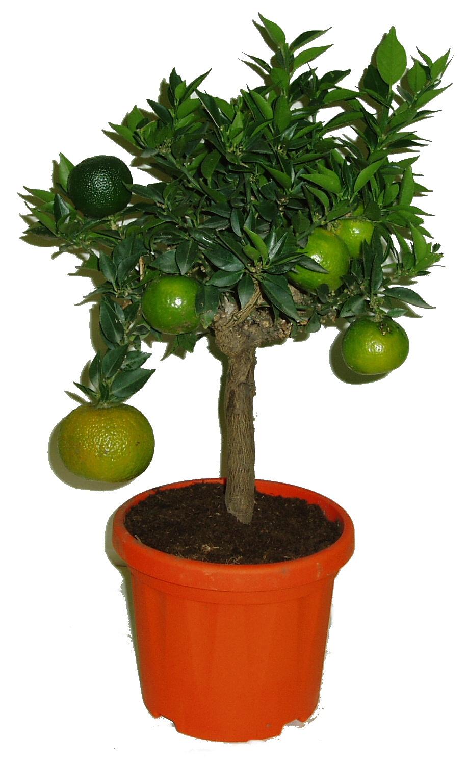 Pomerančový strom Myrtifolia ornamentale Chinotto střední
