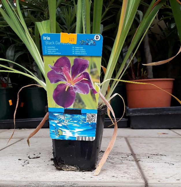 Vodní rostliny - Iris Black Gamecock (Kosatec lujsiánský)