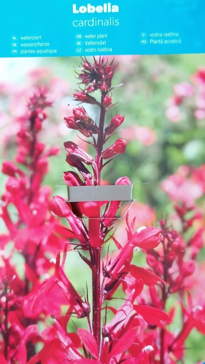 Vodní rostliny - Lobelia cardinalis (Lobelka šarlatová)