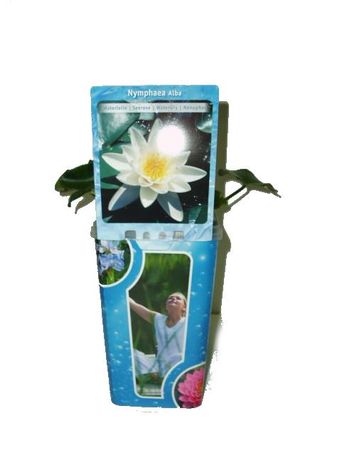 Vodní rostliny - Nymphaea (Leknín bílý)
