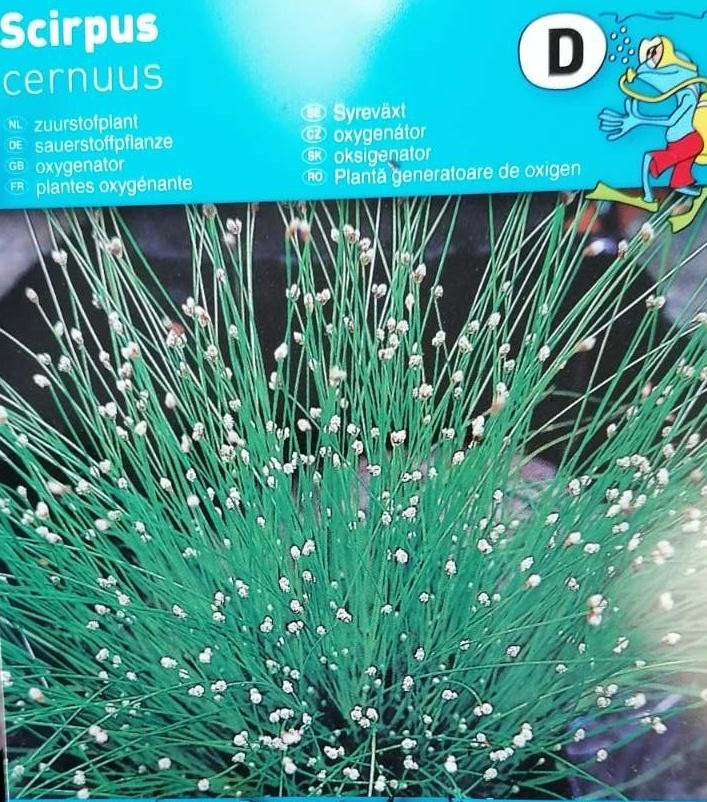 Vodní rostliny - Scirpus cernus